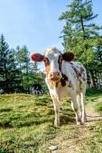 Curious young calf — Stock Photo
