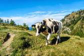 Black mottled cow in the alps — Stock Photo