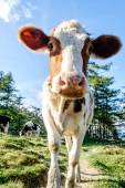 Cute young calf — Stock Photo