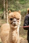 Holding alpaca by rein — Stock Photo