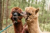 Two fluffy alpacas — Stock Photo