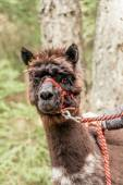 Brown alpaca with rein — Stock Photo