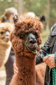 Man holding alpaca by rein — Stock Photo