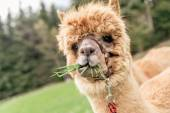 Funny alpaca with mouth full of grass — Stock Photo