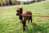 Running alpaca with rein — Stock Photo