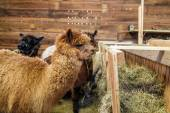 Brown alpaca in a stable — Stock Photo