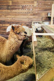 Alpacas in a stable — Stock Photo