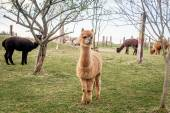 Herd of alpacas — Stock Photo