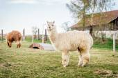 White alpaca on a ranch — Stock Photo