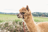 Fluffy Alpaca with rein — Stock Photo