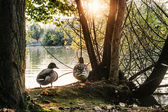 Two ducks nearby a lake — Stock Photo