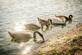 Group of swan — Stock Photo