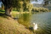 Swan in a lake — Stock Photo
