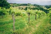 Grapevine in Southern Styria — Stock Photo