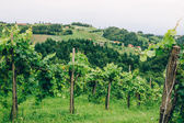 Grapevine cultivation in Southern Styria — Stock Photo