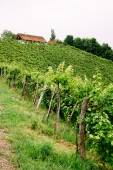Grapevines in Styria — Stock Photo