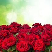 Темно красные розы в саду — Стоковое фото