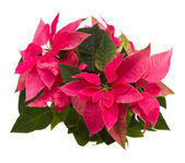 Pink poinsettia flower or christmas star — Stock Photo