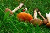 Ripe of mushrooms — Stock Photo