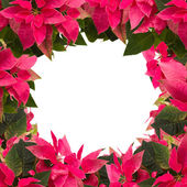 Frame of pink poinsettia flower or christmas star — Stock Photo