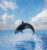 Jumping killer whale — Stock Photo