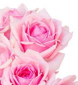 Rosas frescas close-up — Foto Stock