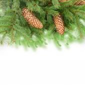 Pine Branch With Cones — Stock fotografie