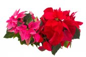 Pink and red  poinsettia flowers or christmas star — Stock Photo