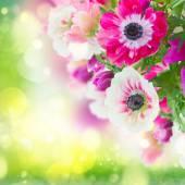 Anemone flowers — Stock Photo