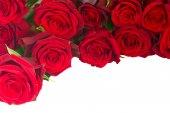 Bordure de roses fraîches de jardins rouges cramoisis — Photo