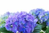 Granicy hortensia niebieski kwiaty — Zdjęcie stockowe