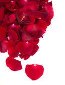 Border of fresh crimson red  garden roses — Stock Photo