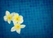 цветы франгипани в голубой воде — Стоковое фото