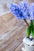 Hyacinths flowers — Stock Photo