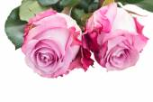 Rose flowers close up — Stock Photo