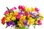 Freesia and daffodil  flowers — Photo