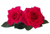 Two dark pink roses — Stock Photo