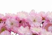 Blossoming pink tree Flowers — Stock Photo