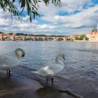 Swans with background of Charles bridge — Stock Photo #63579903