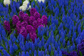 Flower bed with blue muscari — Stock Photo