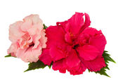 Red and pink hibiscus flowers — Stock Photo