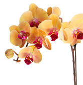 Orange  orchid branch — Stock Photo