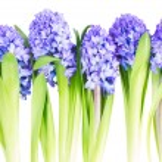 Blue  hyacinth — Stock Photo #68409085