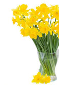 Spring narcissus — Stock Photo