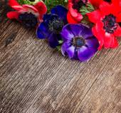 Blue and red anemone flowers — Stock Photo