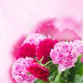 Garden of pink peonies — Stock Photo