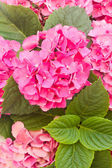 Pink  hortensia flowers — Stock Photo