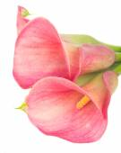 Calla lilly — Stock Photo