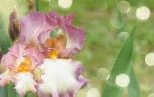 Booming irises — Stock Photo