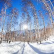 Winter birchwood — Stock Photo #59332949